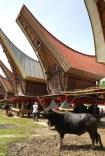 Tana Toraja Ceremonia pogrzebowa_Indonezja (7)