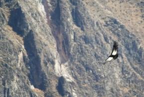 Cruz Del Condor kanion Colca (1)