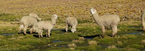 Lama Peru (2)