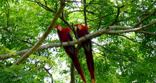 Macaws in tree at Jaco hotel DoceLunas