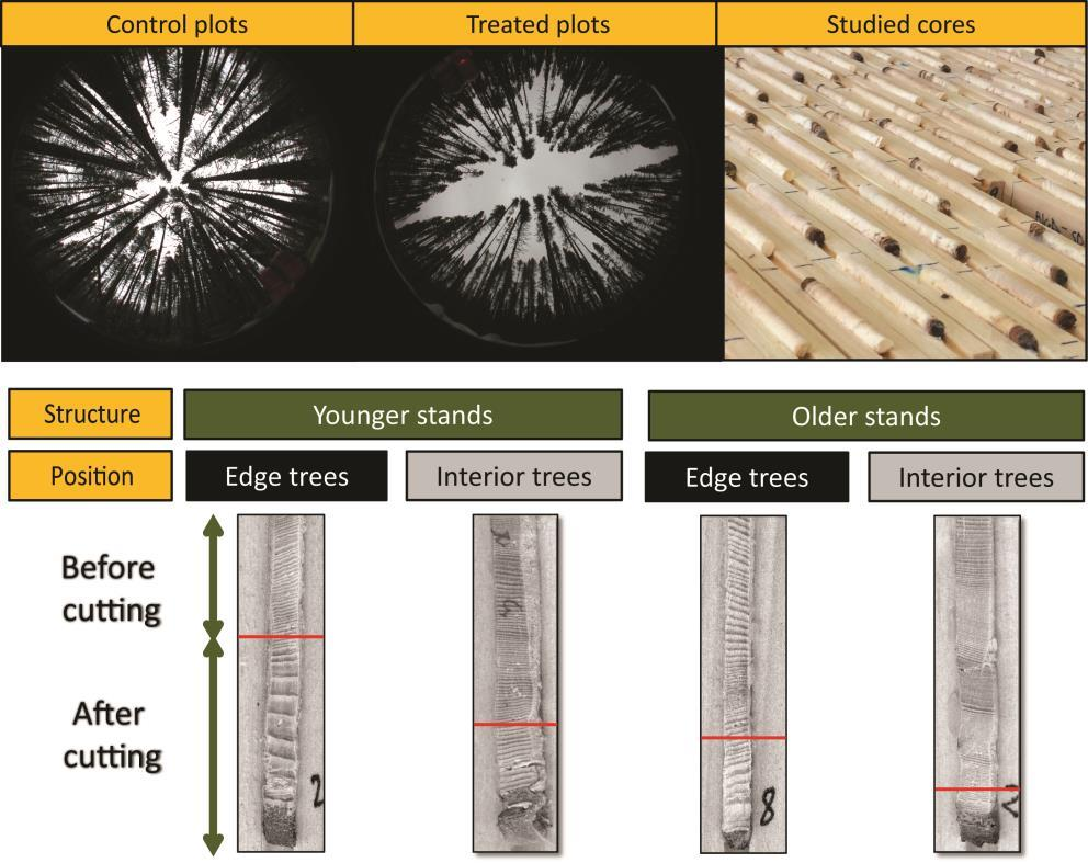 this research suggests that the studied treatments are effective to enhance radial wood production of black spruce especially in younger stands