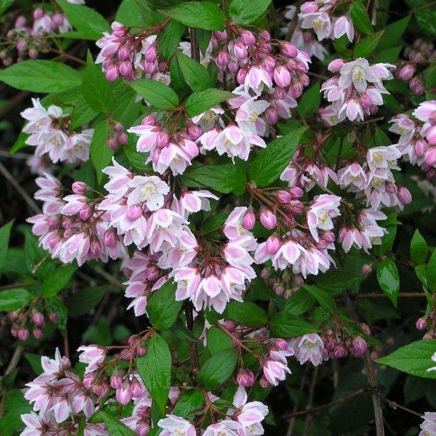 Aronia Arbutifolia Brilliant Pdf Free Download