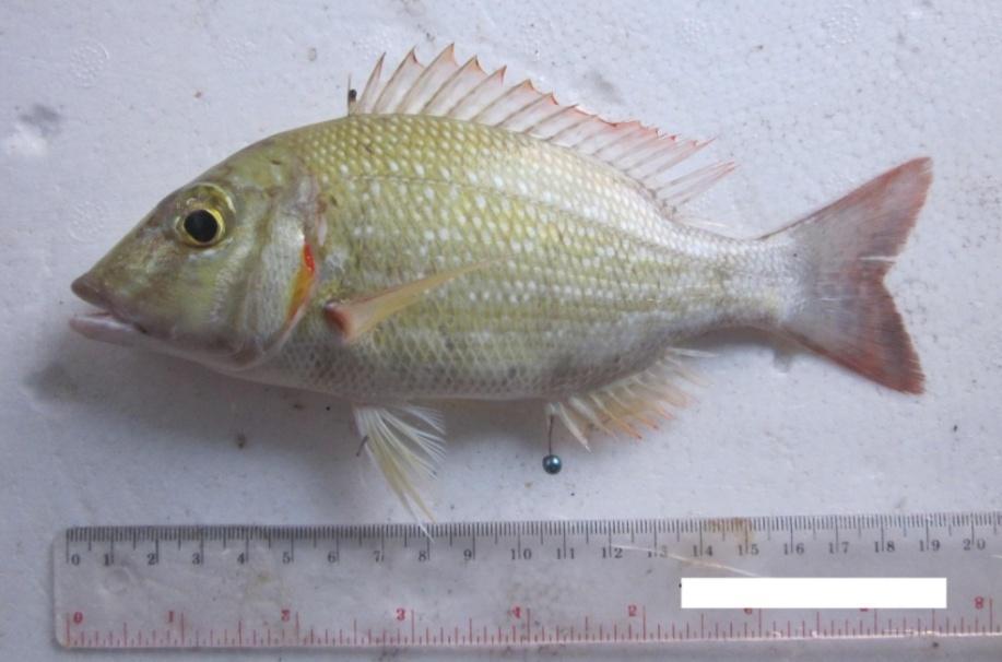 Distribusi Dan Aspek Pertumbuhan Ikan Lencam Lethrinus Lentjan Di Perairan Dangkal Karang Congkak Taman Nasional Laut Kepulauan Seribu Jakarta Pdf Download Gratis