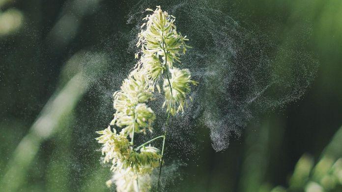 ¿Por qué el polen aumenta el riesgo de sufrir Covid? (Foto: PIxabay)