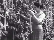 Harvesting the spaghetti crop, 1957