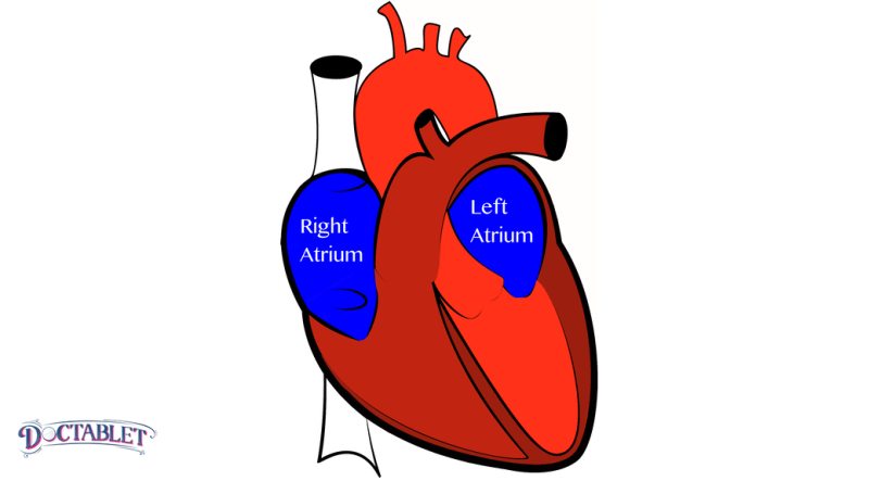 The atrium receive the blood that returns to the heart from different sources.