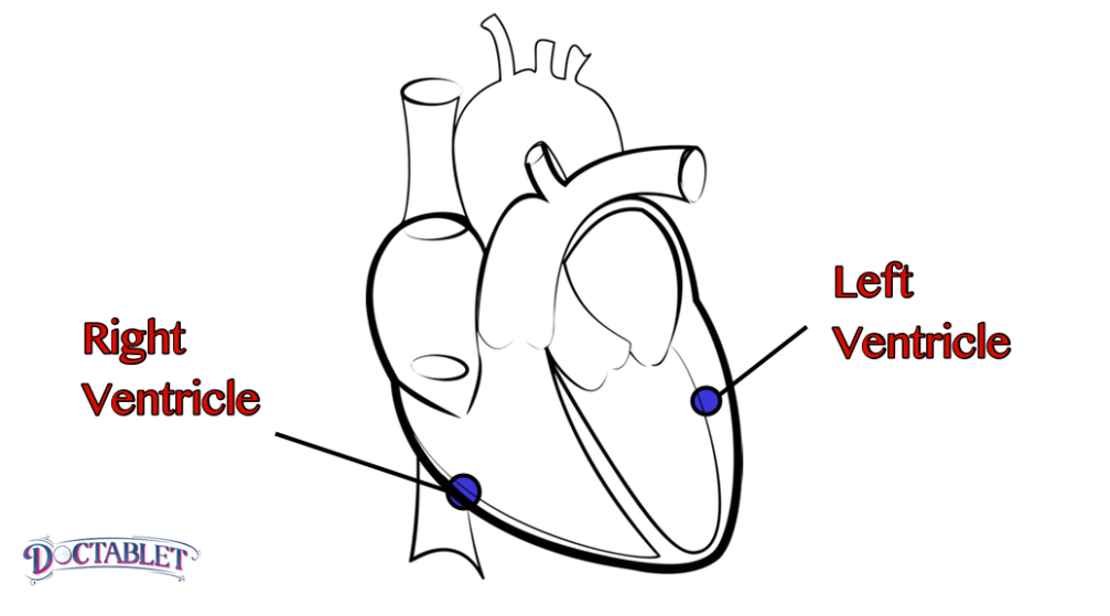 The lower chambers of the heart. There are two ventricles, each with a different function. The right ventricle is a receiving chamber where blood from veins accumulates before it moves on into the lungs. The left ventricle is a muscular cavity whose function is to push blood out into the body.