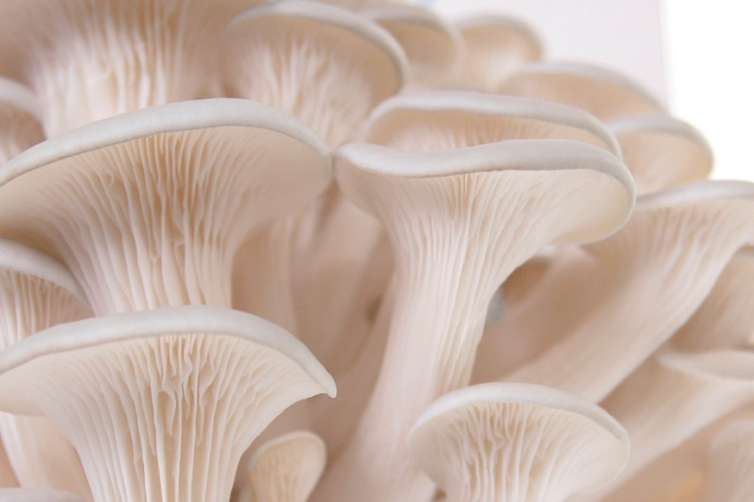 kit à champignon prêt à pousser
