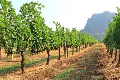 raisins vignobles français
