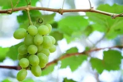 raisins vin santé