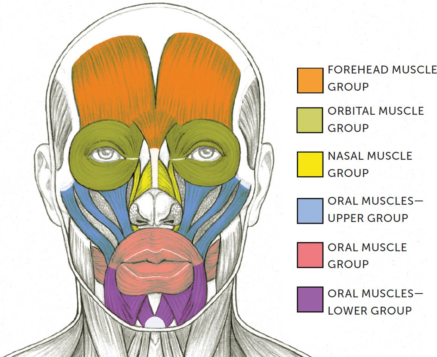 Facial Muscles And Expressions