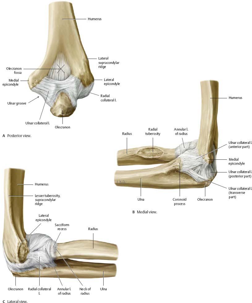 Elbow & Forearm - Atlas of Anatomy