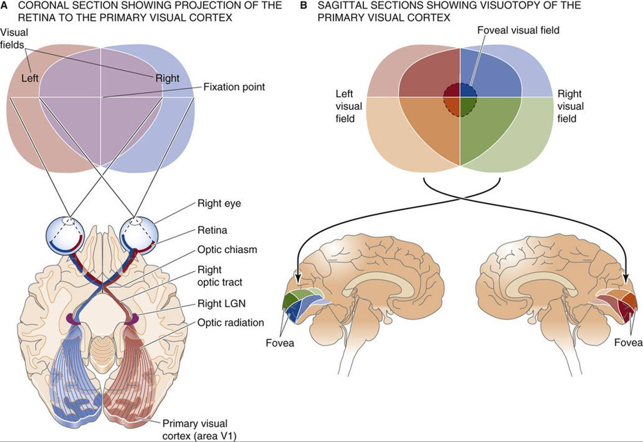Spatial Representations Sensory And Motor Maps In The