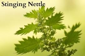 stinging-nettle-765409_1920