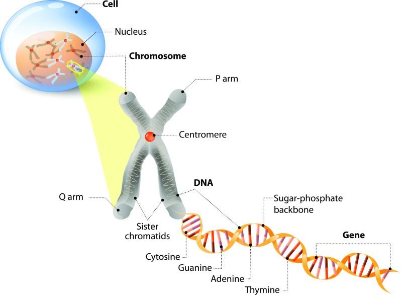 CellchromosomeDNAistock.jpg