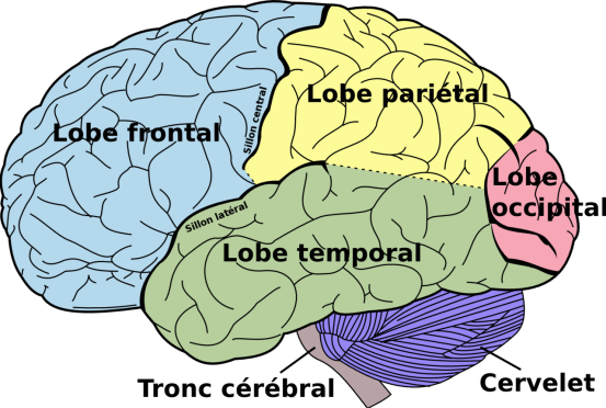 1280px-Brain_diagram_fr Creative Common