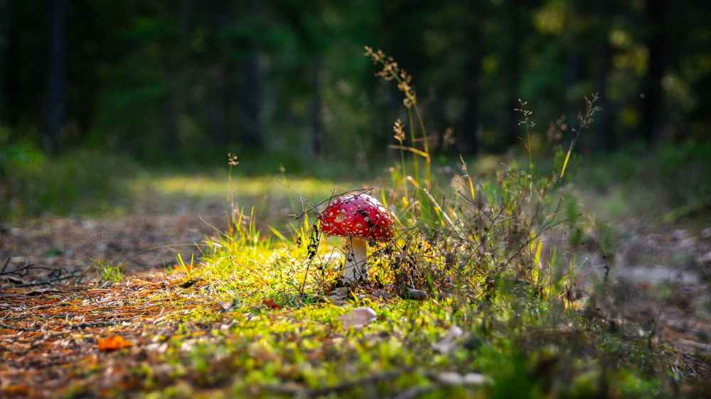 photo of red mushroom
