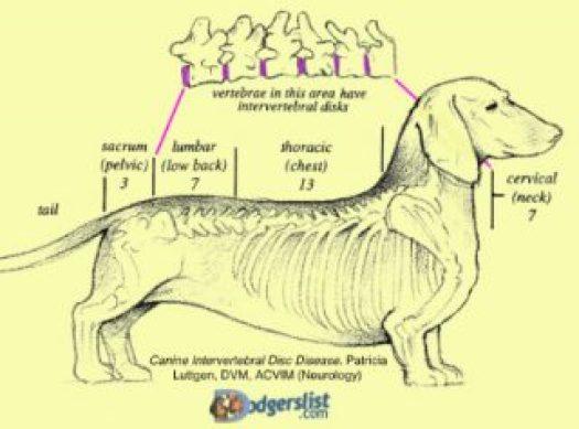 Dodgerslist-DCA-canine spine