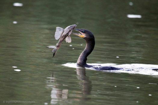 Cormorants Find Fish in Muddy Waters