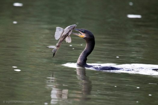 Cormorants Find Fish in Muddy Waters
