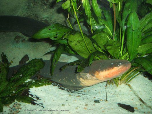 Electrogenic Fish
