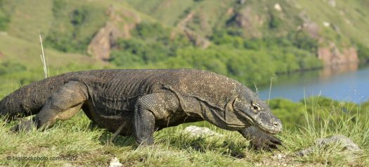 Komodo Dragons and Parthenogenesis