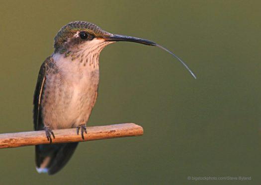 Hummingbird Tongues