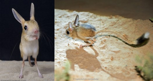 Jerboa by Design