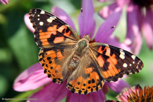 Painted Lady Butterflies Out-migrate Monarchs