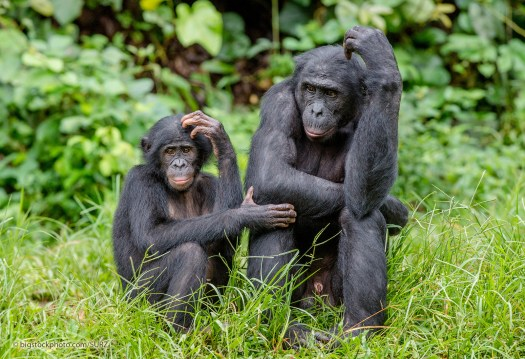 Bonobos - Justifying Animal Behavior in Humans