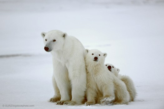 Natural Selection as Creative Agent - Polar Bears