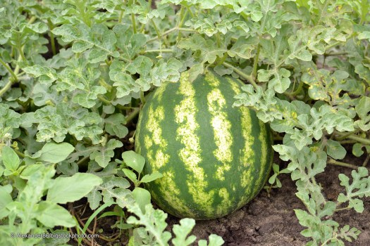 Facts About Plant Design including Watermelon