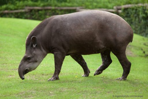 "South American Tapir brings to mind the question ""Why Did Dinosaurs Exist?"""