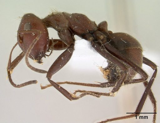 Self-Destruction Defense in the Exploding Ant