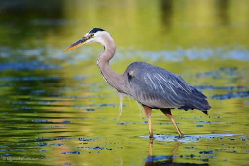 Spreading Life Throughout the Earth - Great Blue Heron