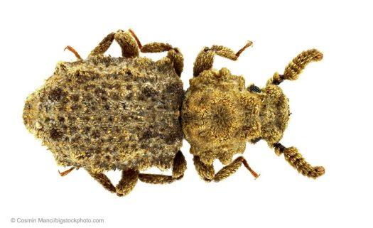 Nature's Jawbreaker – the Ironclad Beetle