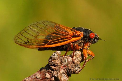 Periodic Cicada or Magicicada