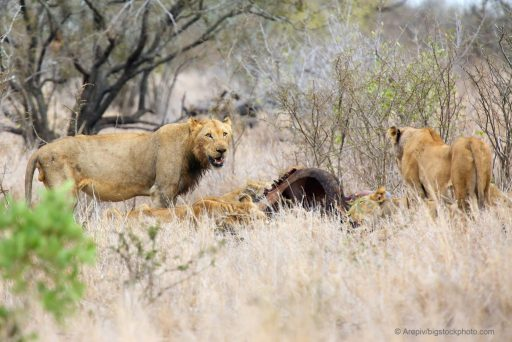 God Must be Cruel – Or Not- Lions with Prey