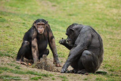Chimpanzees - A Chimp Named Washoe