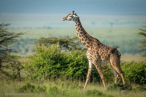 Unusual Giraffe Features