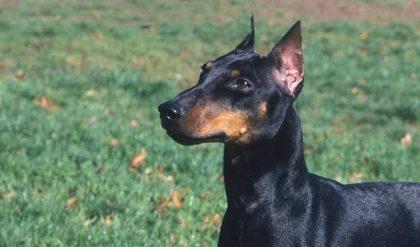 """Manchester Terrier aka """"Dun Dun"""""""