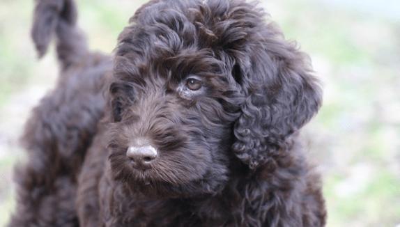 Designer Dogs - Labradoodle