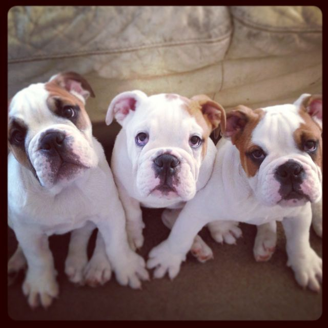 english bulldog puppies picture under 500 - dog breeders guide