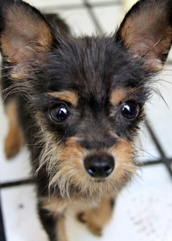 Teacup Dogs: All About Teacup Puppies