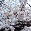 桜が満開に、、、、!