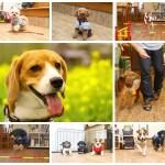 犬のしつけ教室Cocoroのブログがパワーアップ!