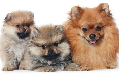 犬の妊娠の確認と正しい対応
