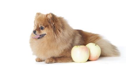 リンゴとポメラニアン