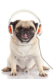 dog listening to music.  Pug Dog isolated on White Background