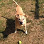 yellow dog standing over tennis ball looking expectant